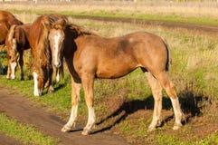 cavalos que pastam no campo do outono Imagens de Stock Royalty Free