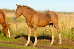 cavalos que pastam no campo do outono Fotografia de Stock