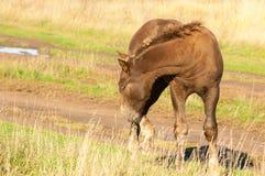 cavalos que pastam no campo do outono Imagem de Stock Royalty Free