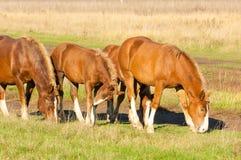 cavalos que pastam no campo do outono Fotos de Stock