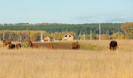 cavalos que pastam no campo do outono Imagens de Stock