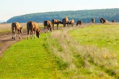 cavalos que pastam no campo do outono Imagem de Stock