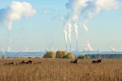cavalos que pastam no campo do outono Fotografia de Stock Royalty Free