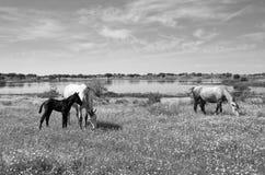 Cavalos que pastam no campo em um dia ensolarado Fotografia de Stock