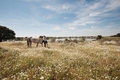 Cavalos que pastam no campo em um dia ensolarado Fotos de Stock