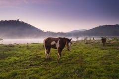 Cavalos que pastam no campo no por do sol Imagens de Stock Royalty Free