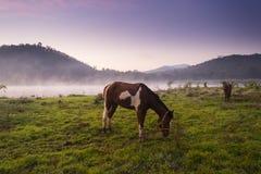 Cavalos que pastam no campo no por do sol Fotografia de Stock
