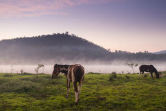 Cavalos que pastam no campo no por do sol Foto de Stock Royalty Free