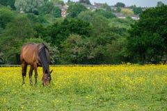 Cavalos que pastam no parque do país do vale de Woodgate Foto de Stock Royalty Free