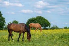 Cavalos que pastam no parque do país do vale de Woodgate Imagem de Stock Royalty Free