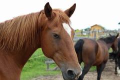 Cavalos que pastam no pasto fotos de stock royalty free