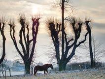 Cavalos que pastam no pasto com resto da neve imagens de stock