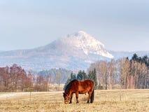 Cavalos que pastam no pasto com resto da neve foto de stock