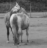 Cavalos que preparam-se fotografia de stock