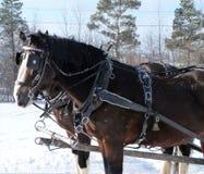 Cavalos que puxam um trenó através das madeiras imagens de stock