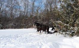 Cavalos que puxam um trenó através das madeiras fotografia de stock royalty free