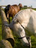 Cavalos que riscam Itching de relaxamento Fotos de Stock