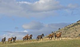 Cavalos que stampeding Imagem de Stock