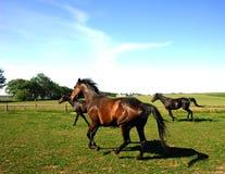 Cavalos que trotam no campo fotografia de stock royalty free