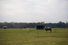 Cavalos que vivem para fora na libré da grama Fotos de Stock