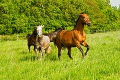 Cavalos Running Foto de Stock Royalty Free