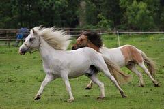 Cavalos Running Fotos de Stock