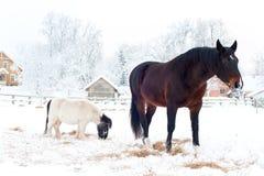 Cavalos rurais que estão no pasto do inverno imagens de stock