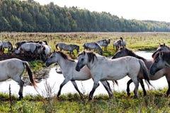 Cavalos selvagens. Imagem de Stock