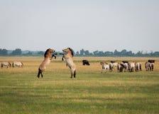 Cavalos selvagens Fotografia de Stock Royalty Free