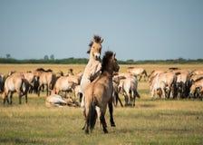 Cavalos selvagens Imagens de Stock