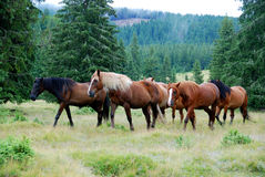 Cavalos selvagens Imagens de Stock Royalty Free