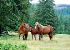 Cavalos selvagens fotos de stock