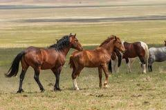 Cavalos selvagens bonitos em Utá no verão imagem de stock royalty free