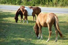 Cavalos selvagens de Assateague que pastam imagem de stock