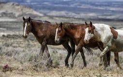 Cavalos selvagens de bacia de lavagem da areia alinhados Imagem de Stock Royalty Free