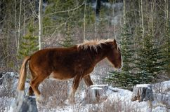 Cavalos selvagens de kananaskis Imagens de Stock