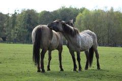 Cavalos selvagens de Tarpan Fotografia de Stock Royalty Free