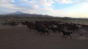Cavalos selvagens de Yilki e um cavaleiro no campo em Kayseri, Turquia filme