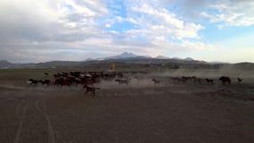 Cavalos selvagens de Yilki no campo, Kayseri, Turquia video estoque