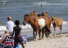 CAVALOS SELVAGENS DO CONSOLE DE ASSATEAGUE Foto de Stock Royalty Free