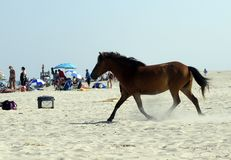 CAVALOS SELVAGENS DO CONSOLE DE ASSATEAGUE Imagem de Stock Royalty Free