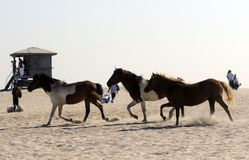 CAVALOS SELVAGENS DO CONSOLE DE ASSATEAGUE Fotografia de Stock Royalty Free