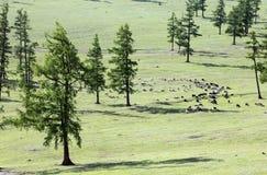 Cavalos selvagens do Mongolian Imagem de Stock