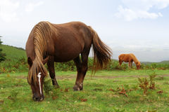 Cavalos selvagens do pottok foto de stock