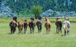 Cavalos selvagens e selvagens da natureza Imagens de Stock Royalty Free