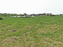 Cavalos selvagens e vacas nas montanhas foto de stock