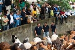 Cavalos selvagens em Galiza Foto de Stock