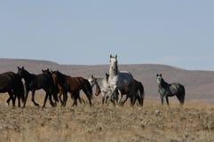 Cavalos selvagens em lugares largamente abertos Fotos de Stock