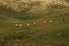 Cavalos selvagens em Mongolia Imagem de Stock Royalty Free