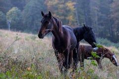 Cavalos selvagens em um prado Fotografia de Stock Royalty Free